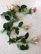 e van rozen